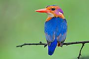 Pygmy Kingfisher, iSimangaliso Wetland Park, KwaZulu Natal, South Africa