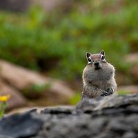 Golden mantled ground squirrel. Tonquin Valley. jasper National PArk, Alberta.