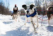 A sled dog on Jonathan Alsberghe's team peers curiously off-trail during the Silver Sled Founder's Fun run on March 4 in Haines Junction, Yukon.