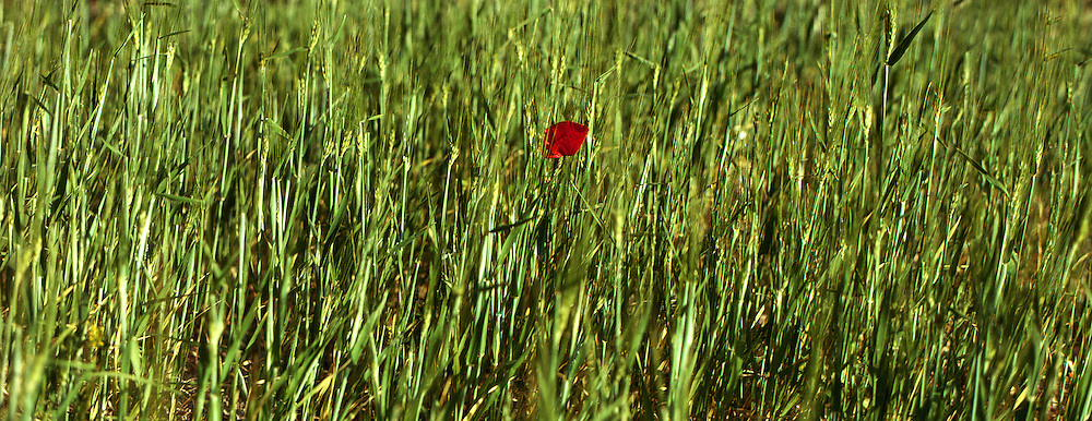 A single poppy stands amid a field of green wheat.