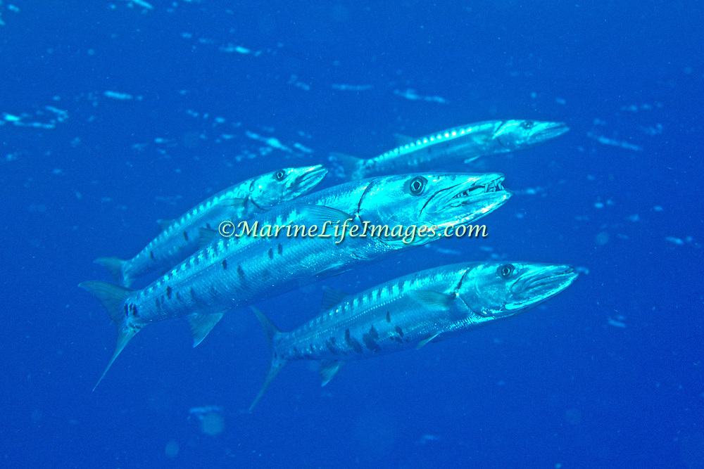 Gread Barracuda are most commonly in open water above reefs, occasionally around growth on reefs - picture taken Fiji