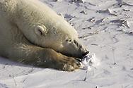 Polar Bear ( Ursus maritimus ) sleeping Hudson Bay Canada   winter , tundra , arctic , ice , marine mammal , snow  resting @ Kike Calvo - V&amp;W<br />