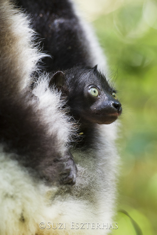Indri <br /> Indri indri<br /> 2 week old infant<br /> East Coast of Madagascar