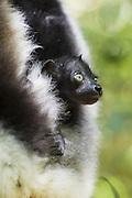 Indri <br /> Indri indri<br /> 2 week old infant<br /> East Coast of Madagascar