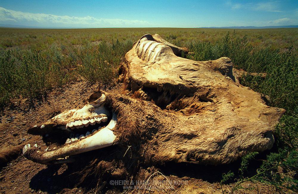 Mongolei, MNG, 2003: totes Kamel (Camelus bactrianus) in der südlichen Gobi. Noch kein Skelett, Haut, Fell und Fleisch befinden sich noch auf den Knochen. Der Kadaver ist überall mit Zecken befallen. | Mongolia, MNG, 2003: Camel, Camelus bactrianus, dead camel, not already a skeleton, skin, fur and meat are still on the bones, completely infested with camel ticks, South Gobi. |