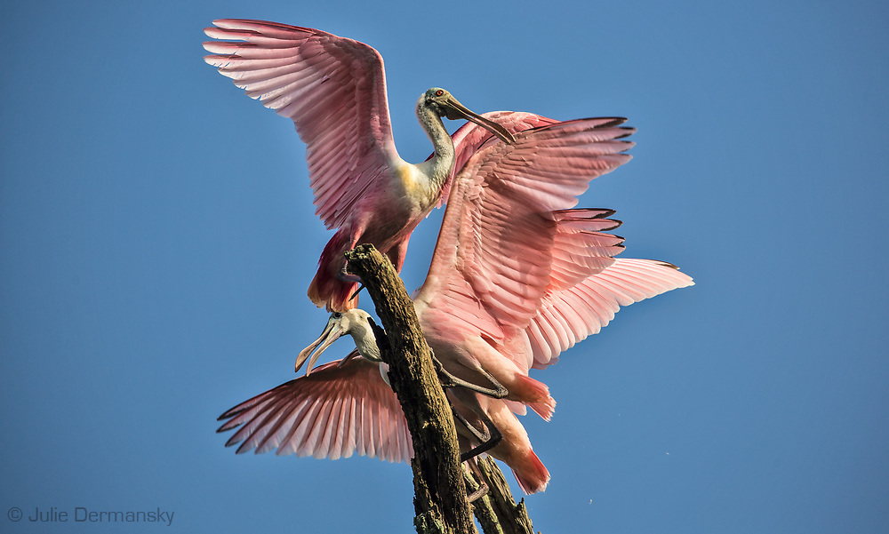 Young  roseate spoonbill practicing flying at a rookery on Jefferson Island, Louisiana.