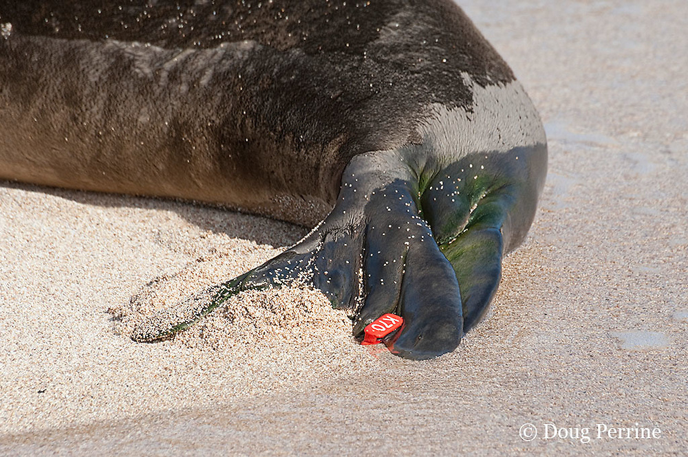 flipper tag on Hawaiian monk seal, Monachus schauinslandi, Critically Endangered endemic species, west end of Molokai, Hawaii ( Central Pacific Ocean )