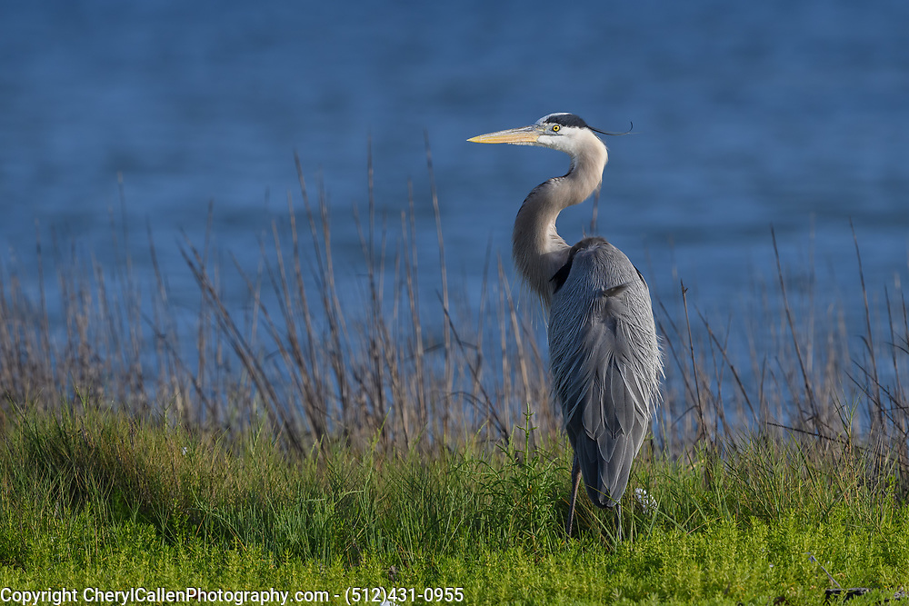 Great Blue Heron enjoying the early morning sun