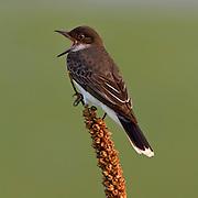 Eastern Kingbird (Tyrannus tyrannus) singing