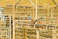 Cowboy working in corrals separating horses for horse sale, Montana, <br /> MODEL RELEASED