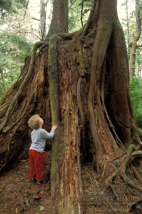 Child looking at tap root over fallen tree trunk stump in lush forest, Beverely Beach State Park, Oregon