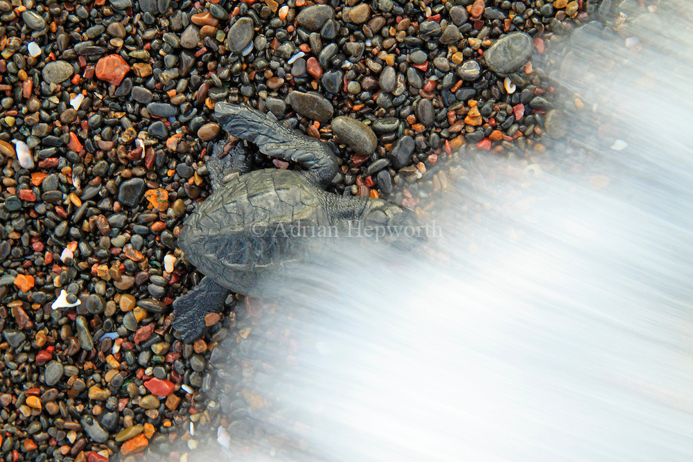 Olive Ridley Turtle hatchling (Lepidochelys olivacea) hit by wave as it reaches the ocean after emerging from nest. Ostional Wildlife Refuge, Costa Rica.<br />