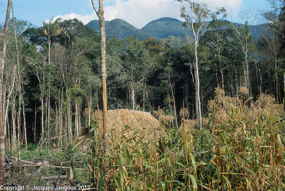 Hoti (Hodi) Venezuelan Indian communal house covered with palm thatch in rainforest at foot of Sierra de Maigualida mountain range in the Guiana Highlands of Venezuela; slash-and-burn garden with maize in foreground.