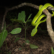 White-lipped Pit Viper (Trimeresurus albolabris) female in ambush position (in situ) in Kaeng Krachan national park, Thailand