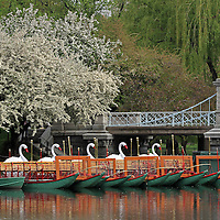The Boston swan boats in the Public Garden captured on a beautiful spring evening in May. A favorite Boston landmark and tourist attraction for young and old, the swan boats are located at the Boston Public Garden.<br />