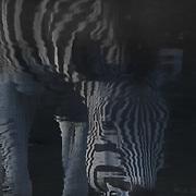 Zebra reflection in dark water.
