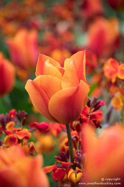 Scented combination of Tulipa 'Veronique Sanson' with Erysimum cheiri 'Fireking'