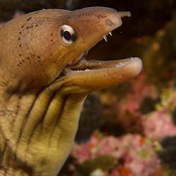 Grey Moray Eel, Gymnothorax nubilus