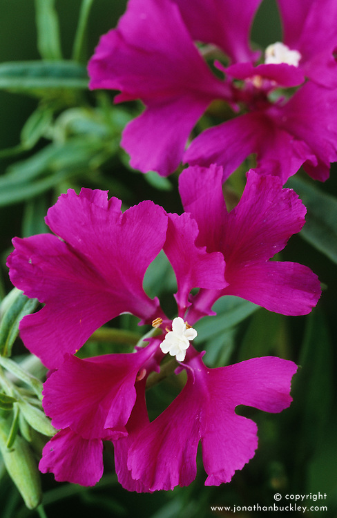Clarkia 'Passion for purple'