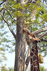 14 May 2013:  Reticulated Giraffe. This animal is a captive animal and well cared for by a zoo.