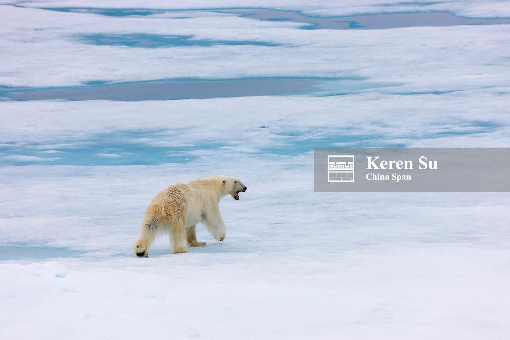 Polar Bear on ice, Woodfjord, Spitsbergen, Norway