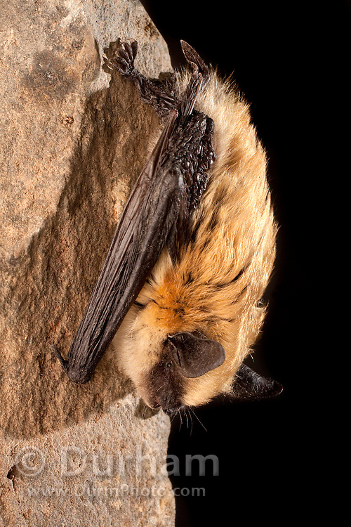 A Western small-footed bat (Myotis ciliolabrum) roosting on a rock at night.  Near Sulphur Springs, high desert Washington.
