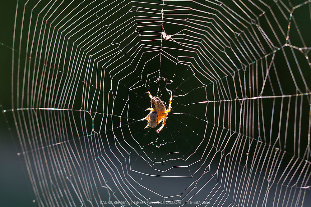 A garden spider sitting in the center of her web, waiting for a meal to wander by.