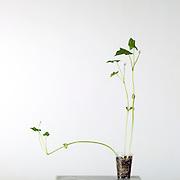 Vegetative growth, unhealthy seed growth, bent plants