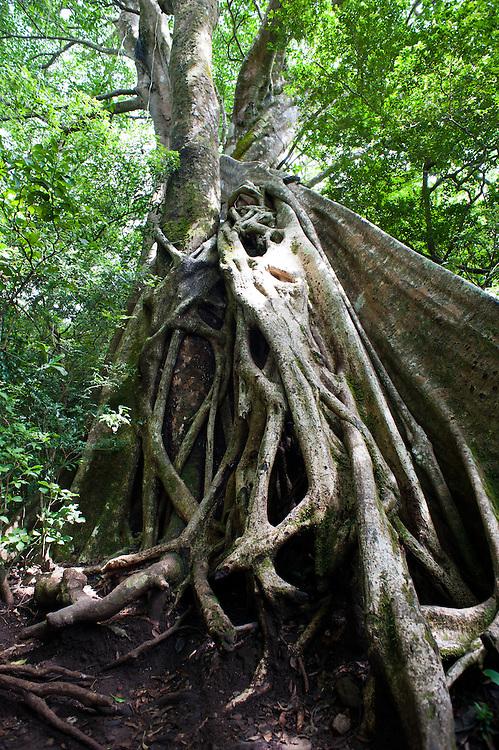 Entangled trees at Rincón de la Vieja