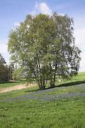 Silver birch trees, betula pendula, and bracken growing on heathland, Suffolk, England