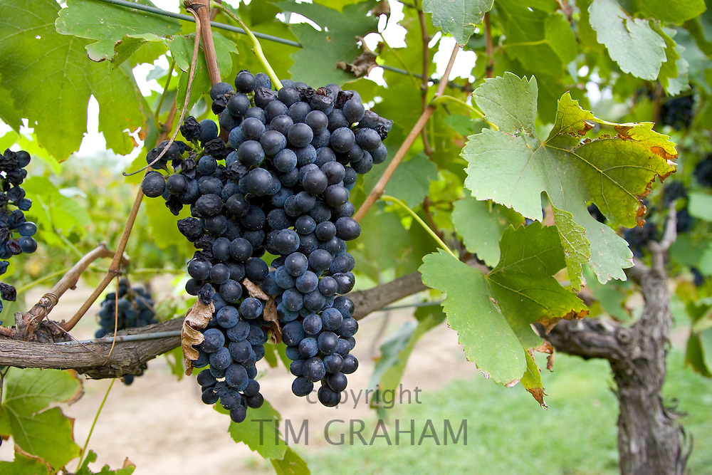 Shiraz Grapes growing in the Pepper Tree Winery, Hunter Valley, Australia