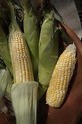 sweet corn shucked and unshucked ready for the pot