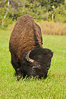 Bull Bison (bison bison) grazing in the rolling hills of Custer State Park.  South Dakota, USA.