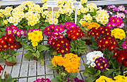 Display of bright polyanthus plants Ladybird Nurseries garden centre, Gromford, Suffolk, England, UK - Polyanthus Piano Mixed