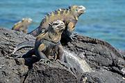 Marina Iguanas, black lava
