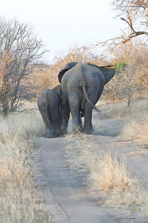 Young elephants leaving
