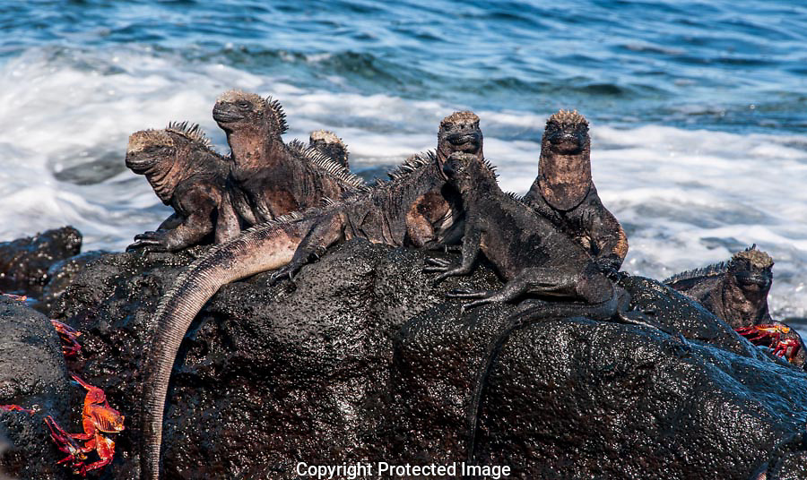 Marine Iquanas use the sun to warm their bodies.
