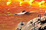 "A detail shows the discarded body -- floating upside down -- of what appears to be a baby bottle nose dolphin inside ""killer cove"" in Taiji, Japan on 10 September  2009. .Photographer: Robert Gilhooly..."