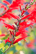 Bright red blossoms on a flowering tree branch. WATERMARKS WILL NOT APPEAR ON PRINTS OR LICENSED IMAGES.