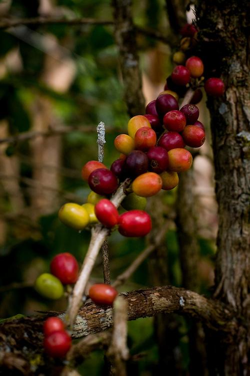 Manhumirim_MG, 14 de Abril de 2009...Detalhe do graos de cafe no galho do cafeeiro em Manhumirim...Detail of coffee beans on a plant in Manhumirim...Foto: BRUNO MAGALHAES / NITRO..Foto: BRUNO MAGALHAES / NITRO