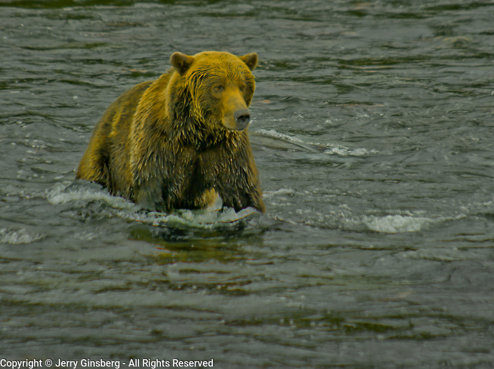 North America, United States, Northwest, Pacific Northwest, West, Alaska, Katmai, Katmai National Park, Brooks River, Grizzly bear, brown bear. Alaskan brown bear (grizzly) searching for salmon in the Brooks River, Katmai National Park, Alaska.