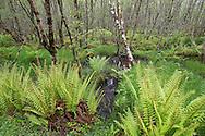 Woodland habitat surrounding beaver lochs showing diversity of vegetation and structure, Knapdale Forest, Argyll, Scotland.