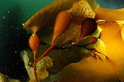 Giant kelp or Giant bladder kelp (Macrocystis pyrifera) Comau Fjord, Patagonia, Chile | Riesentang (Macrocystis pyrifera)