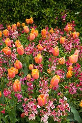 Tulipa 'Princes Irene' with wallflower Erysimum 'Violet'