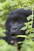 Mountain Gorilla<br /> Gorilla gorilla beringei<br /> Feeding on wild celery<br /> Parc National des Volcans, Rwanda