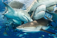 Caribbean Reef Sharks and Lemon Sharks pile up at the surface, competing for fish scraps thrown off of a boat.<br /> <br /> Shot in Bahamas
