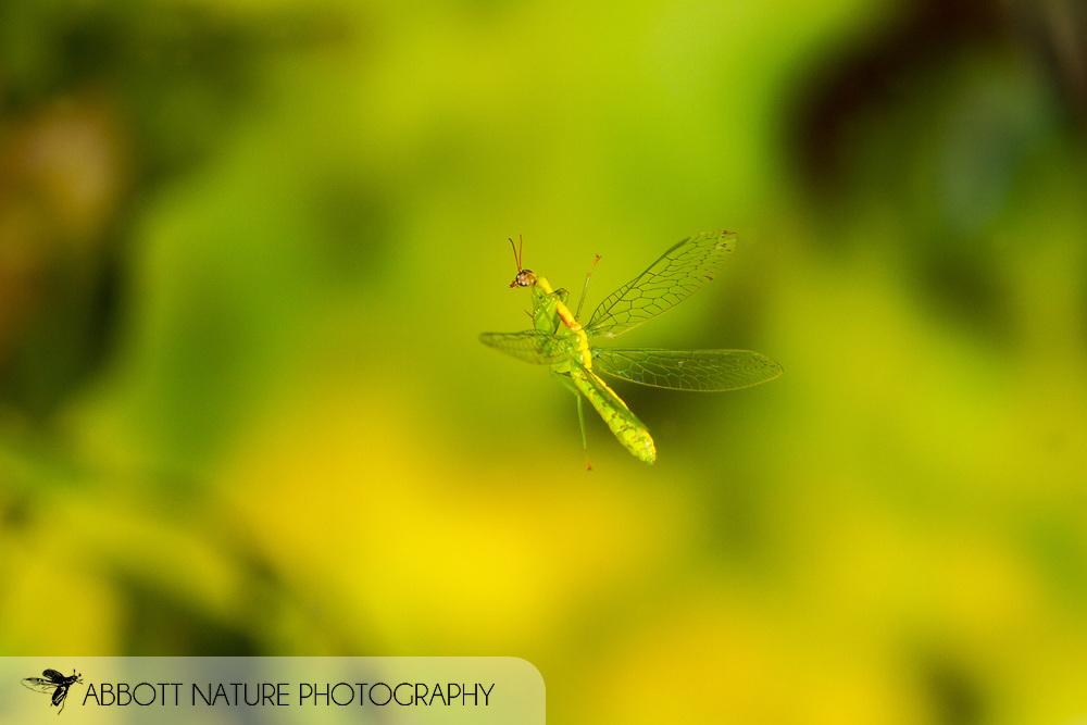Green Mantisfly (Zeugomantispa minuta) flying<br /> United States: Alabama: Tuscaloosa Co.<br /> Tulip Tree Springs off Echola Rd.; Elrod<br /> 21-Sep-2017<br /> J.C. Abbott #2991