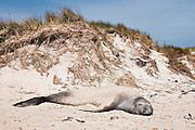 Southern elephant seal (Mirounga leonina) rests on a the beach with a thin sand covering.  The sand acts as barrier to sunburn and also aids in keeping the animal cool during the day