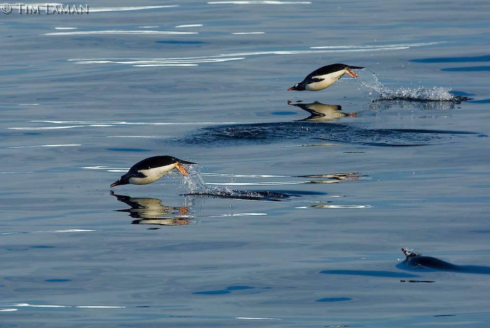 Porpoising Gentoo Penguins (Pygoscelis papua) in the Gerlache Strait.