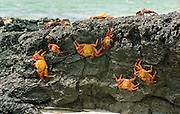 Sally Lightfoot Crabs on rock, Galapagos Islands.
